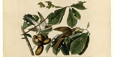 Plate 2 of Birds of America by John James Audubon depicting Yellow-billed Cuckoo