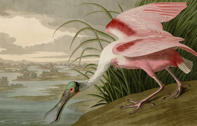 John James Audubon Roseate